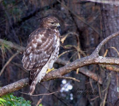The Joy of Bird Watching and Living a Simple Life: Juvenile Red-shouldered Hawk!
