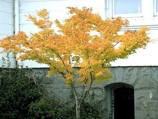 Japanese Maple Coral Bark Acer Palmatum Sango Kuku