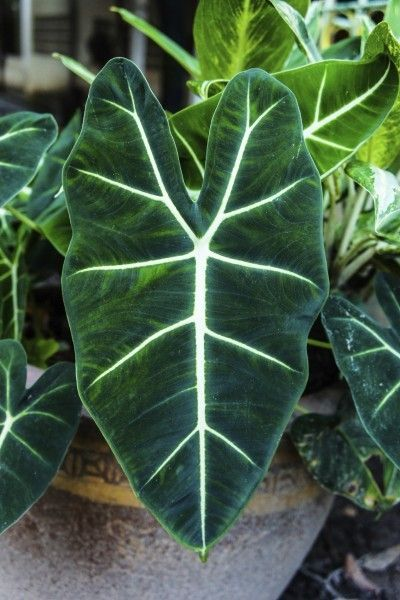 Feeding Alocasias: Tips On Fertilizing Alocasia Plants -  Regardless of how you grow them, fertilizing alocasia plants is essential to their healthy growth. You can learn about alocasia plant feeding and when to fertilize alocasia in the article that follows. Simply click here for more information.