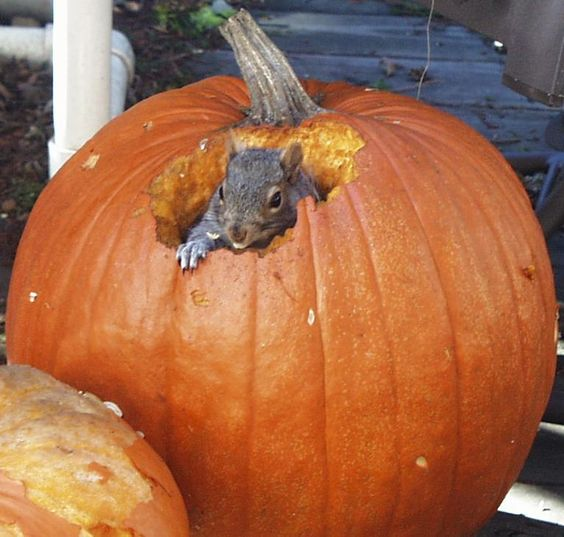 yes we did grow the pumpkin and yes our friendly neighborhood squirrel thought it was put on the stoop just for him!