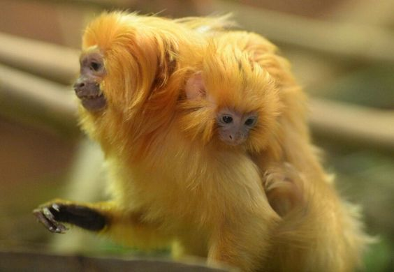 Golden Tamarin twins