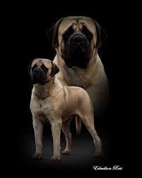 Resultado de imagem para mastiff inglês mais lindo do mundo