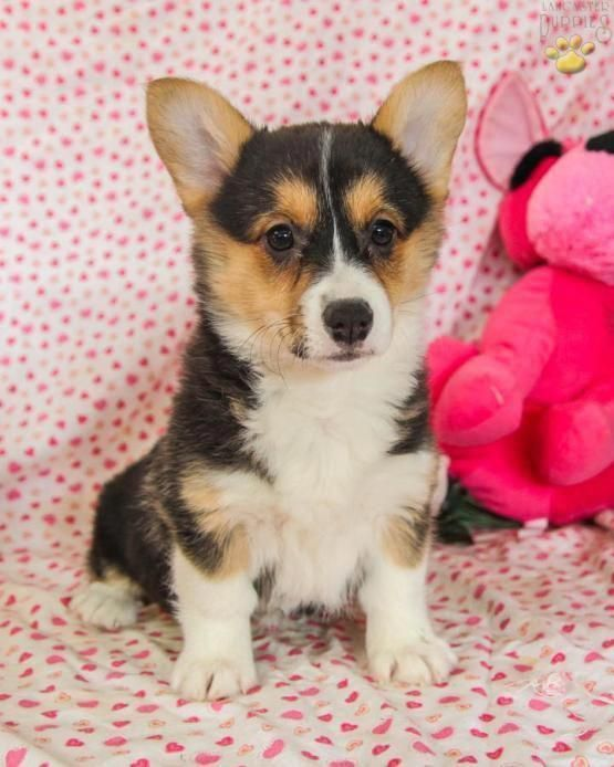 Everything I Enjoy About The Small Corgis Dogs