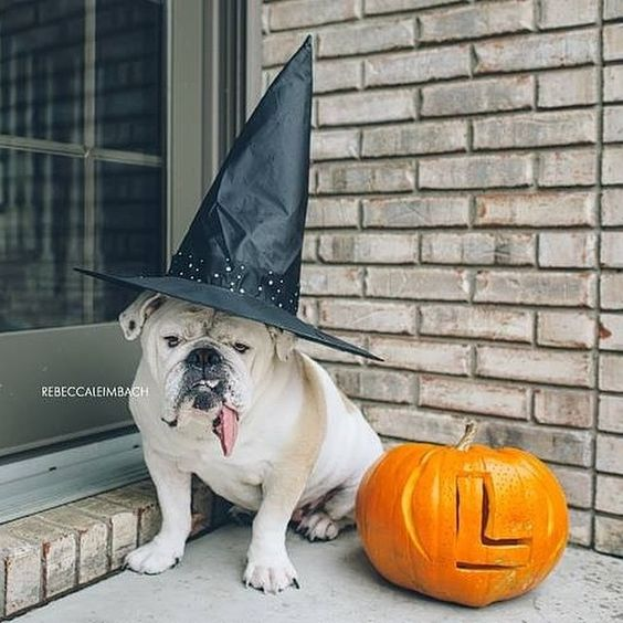 Photo taken by @harpandlola_thebulldog on Instagram, pinned via the InstaPin iOS App! (10/31/2014)
