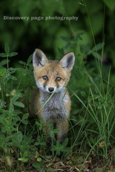 घने हरे जंगलों मे, अपने शिकार को खोजते ! एक भूखा लोमड़ी का शावक ! In dense green forests, a hungry fox cub look for his prey....