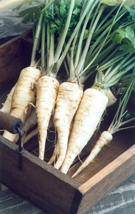 Arat Parsley Root (84 days) - Pinetree Garden Seeds - Vegetables,Herbs: