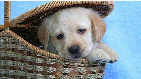 Adorable Labrador Labrador Labradorretriever Lab
