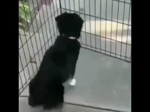 Perro Bailando Samba Memes Samba