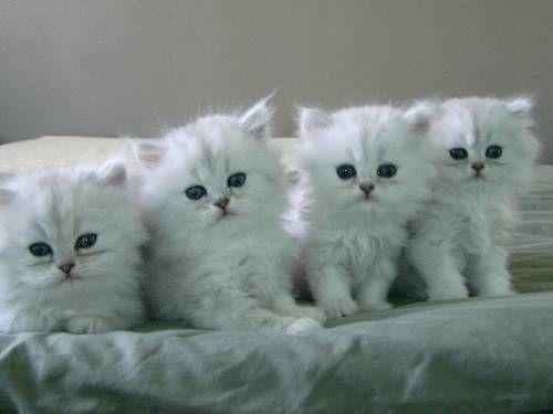 ป กพ นโดย Alstonia Oney ใน Cats And Kittens