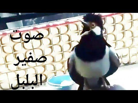 تغريد طائر البلبل في المنزل صوت صفير البلبل Youtube Love Flowers Animals Penguins