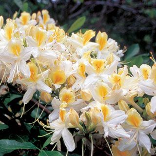 Rhododendron 'Northern Hi-Lights'