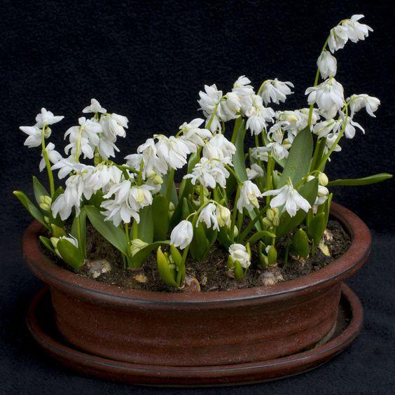 """Scilla siberica alba - """"Die weiße Variante der Sternhyazinthe Scilla siberica. Ihre Blüten wirken zerbrechlich, aber sie haben eine kräftige weiße Farbe. Sie können sie daher in ein Blumenbeet pflanzen oder auch als Topfpflanze verwenden."""" - Carlos van der Veek. Die Blumenzwiebeln werden im Herbst gepflanzt. Online erhältlich bei www.fluwel.de"""