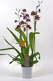 Orchid Odontoglossum type Miltonidium breed Bartley Schwarz Highland