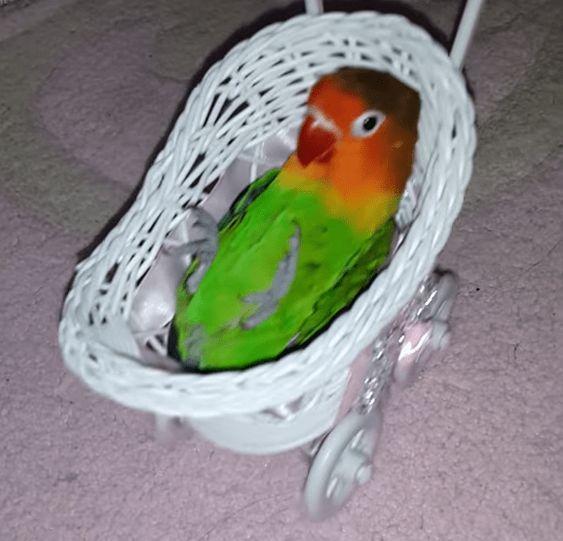 inseparables oiseaux 564ffde9d95e7f982a7fad6a9a646808