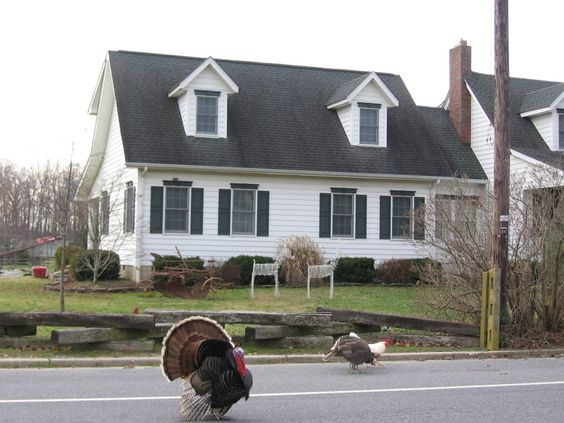 Felton, DE , turkeys in the road
