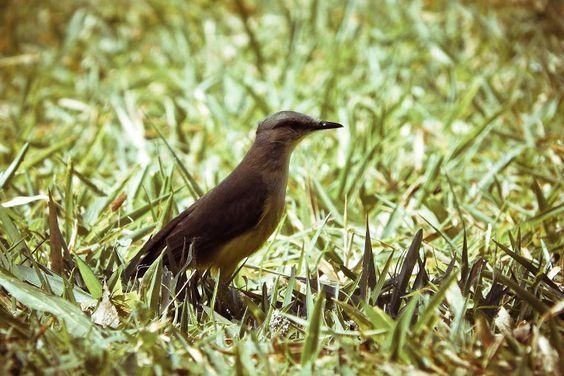 Bem-Te-Vi (Pitangus sulphuratus) - Floresta Nacional de Ipanema - Iperó, SP Google+