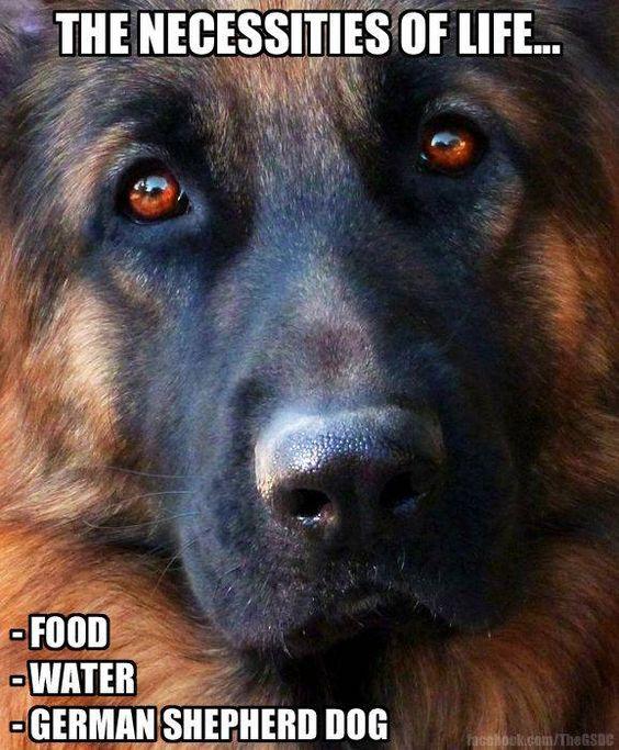The necessities of life . . . food, water, german shepherd dog #dogs #pets #GermanShepherds Facebook.com/sodoggonefunny
