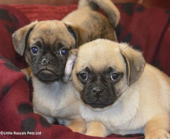 Chunky F1b Jug (3/4 Pug x 1/4 Jack Russell) - Designer and Cross Breed Puppies For Sale
