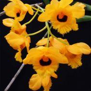 Dendrobium fimbriatum var. oculatum - 5''