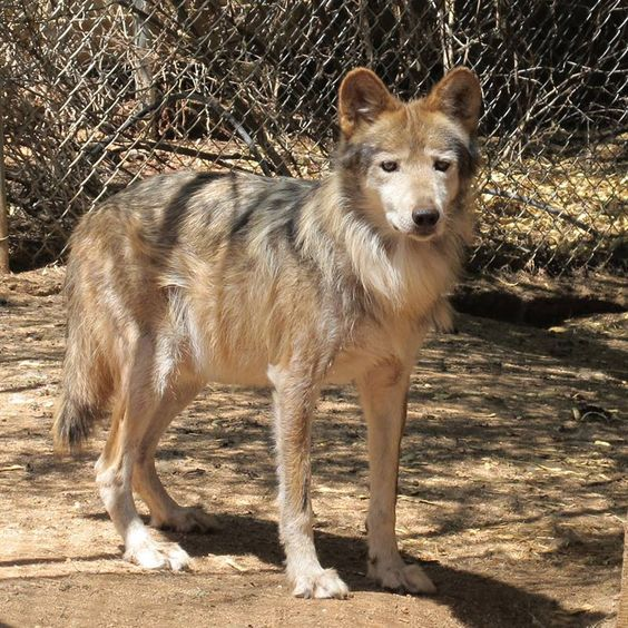 Mexican wolf, M591, is the oldest male Mexican wolf living at Southwest Wildlife. He's lived here since 2008. Today is his 15th birthday. Happy Birthday M591!   May 2, 2014