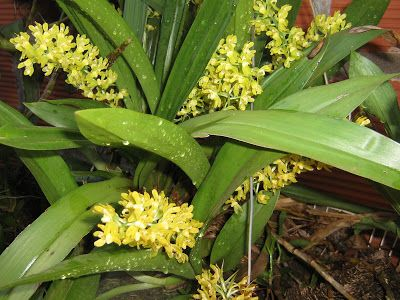 Gomesa planifolia