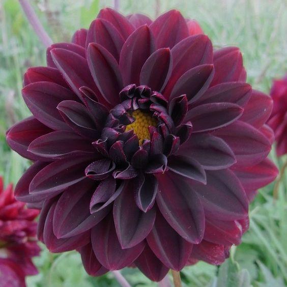 dahlia 39 arabian night 39 gorgeous flowers pinterest. Black Bedroom Furniture Sets. Home Design Ideas