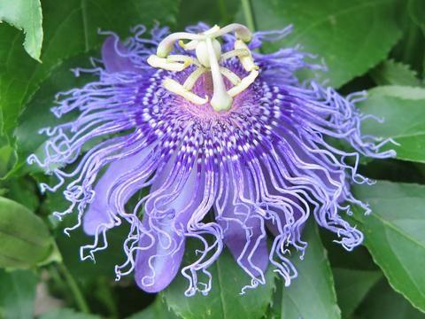 Passiflora Iridescence Passiflora Flowers Passion Flower