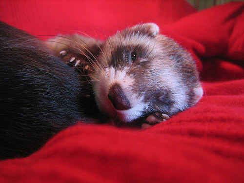 This ferret is the snuggliest little guy in the entire world. | 17 Lovable Pets That Aren't Cats Or Dogs