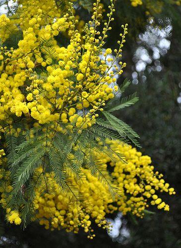 flowers (очевидно, мимоза. или что-то этакое)
