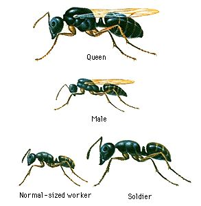 Some colonies have one queen; other colonies have several. The queens are fed and otherwise tended by the workers. The males' only function is to mate with the queens.The workers carry out such tasks as enlarging and protecting the nest, tending queens and young, and foraging. There may be only one kind of worker, or there may be several kinds, with body structures specialized for different types of work. The activity of workers is coordinated mostly through pheromones and body contact.