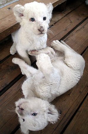 Two of five baby white lions play in the Manchurian Tiger Garden in northeast China's Heilongjiang province. Their parents came from Argentina in 2003. The cubs are wonders in more ways than one - not only are do they have white fur, they have been fed only on sheep milk as their mother did not have enough milk for them all.