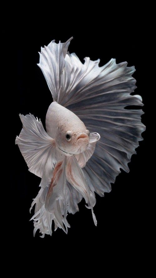 Free Wallpaper For Iphone 7 Plus With Albino Betta Fish Picture 13 Of 20 Pics Hd Wallpapers Wallpapers Download High Resolution Wallpapers Betta Fish Types Fish Wallpaper Betta Fish Betta fish wallpaper iphone