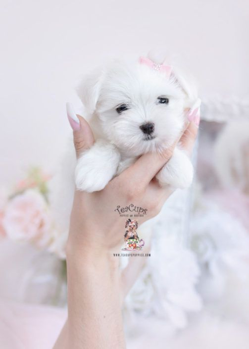 Maltese Puppy For Sale Teacup Puppies 360a Cuteteacuppuppies