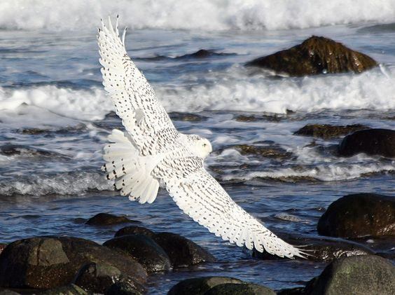Snowy Owl photographed at Rye Harbor State Park NH Marsha DiNardo M&M Photography  December 2015