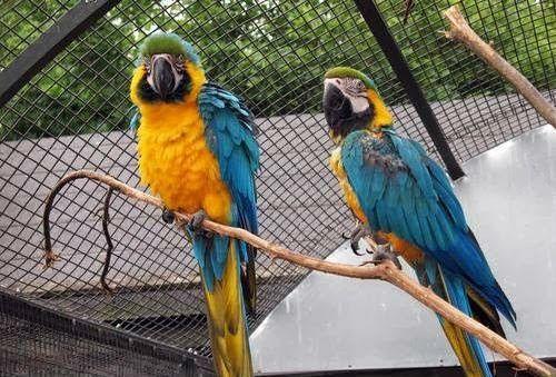 Coppia di pappagalli ara ararauna, allevati a mano, età circa 1 anno. Sono molto socievoli, parlanti e sono abituati a stare sia sul trespolo che in gabbia.inclusa la gabbia e tutti gli acce...