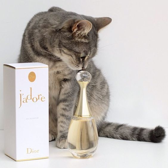 Even cats adore Dior! Who has fashionable pets too? Credit: lauracomolli #Diorvalley #Dior #Jadore #JadoreDior #Perfume #Cat #Kitten #Kitty #Parfum