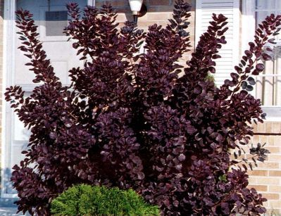 Cotinus Coggygria Royal Purple Arbre Perruques Royal Purple Arbuste Caduc Au Port