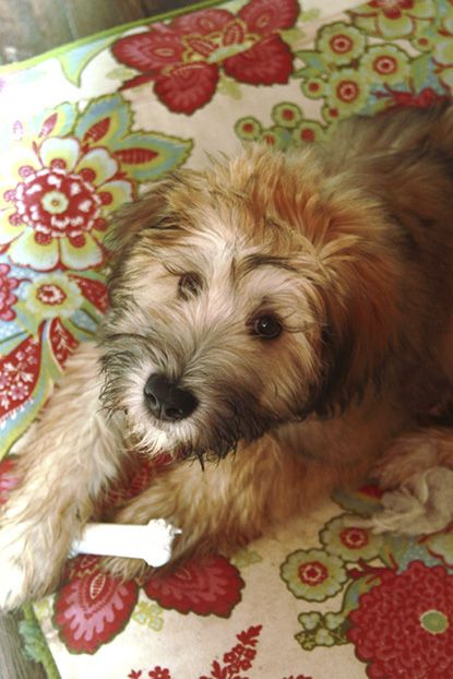 Wheaten terrier, Poodles and Terriers on Pinterest
