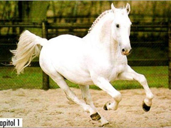 Capitol II (?) - Holsteiner Stallion http://www.rimondo.com/horse-pictures/2090/Capitol-II/110798/