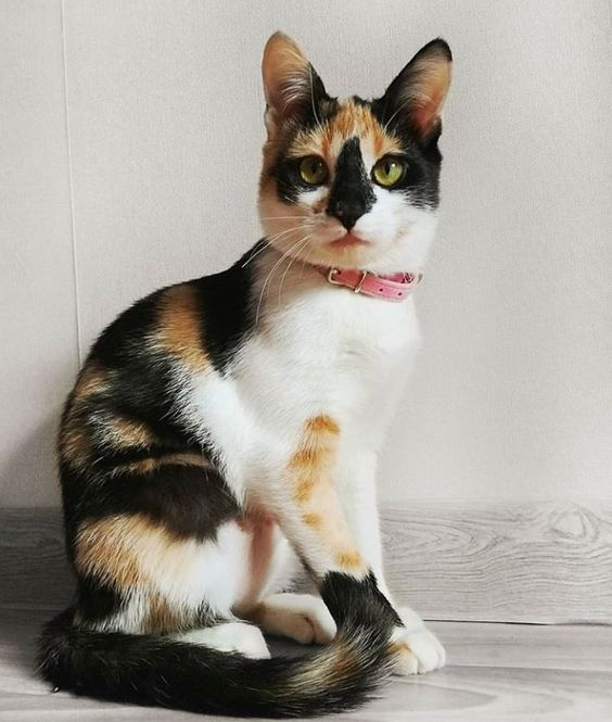 Cat Facts Why Are Calico Cats Almost Always Female Cattime Calico Cat Names Baby Cats Calico Cat