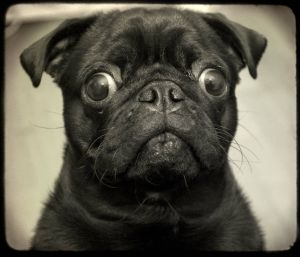 "Puggie says ""Puh-leeeez!"": Precious Pugs, Pugs Pet,  Pug-Dog, Black Pugs, Glorious Pugs, Animals Pugs, Heart Pugs"