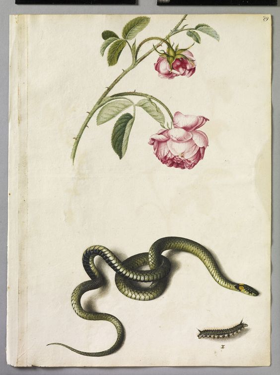 Alexander Marshal Cabbage Rose, Snake and Drinker Moth Caterpillar Larva I Mid 17th century I Royal Collection I 2010 I Her Majesty Queen Elizabeth II
