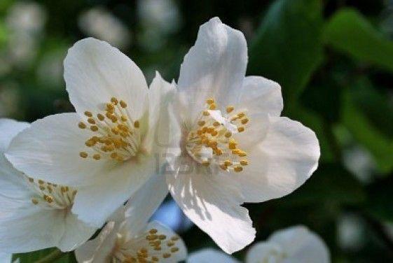 White Jasmine Flower