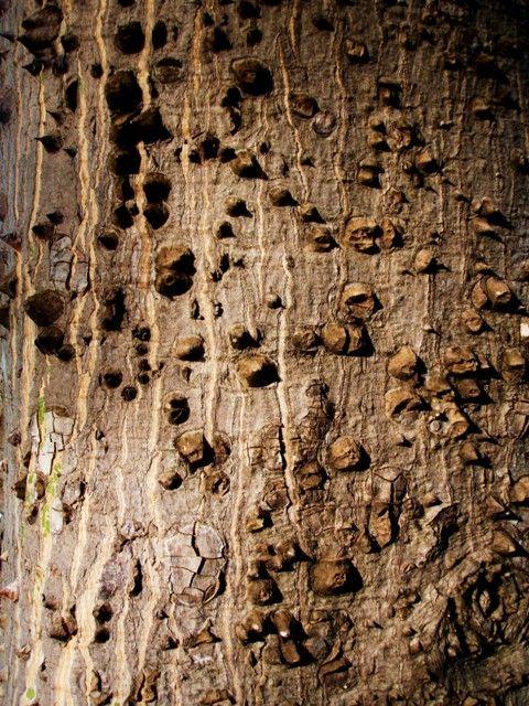 Barks - Cascas de árvores