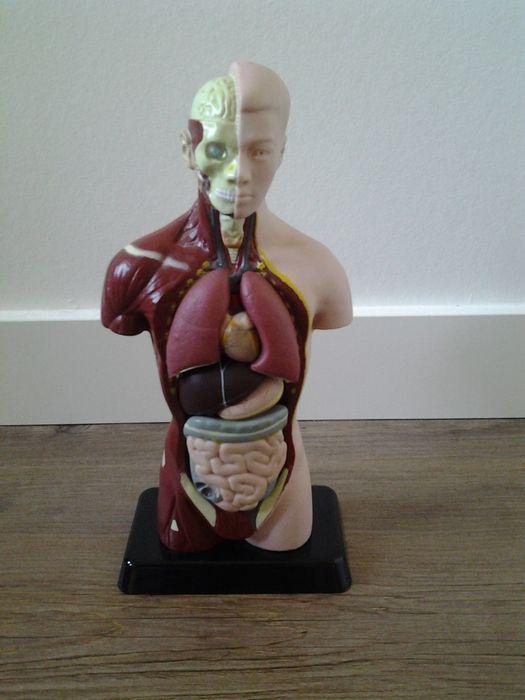 Online veilinghuis Catawiki: Anatomisch model van een mannelijke torso