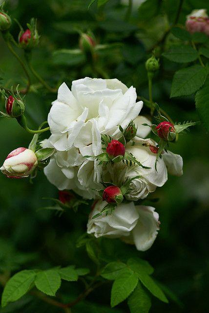 Mme Plantier, Rosa alba-hybrid, Peter Karlsson via Flickr.: