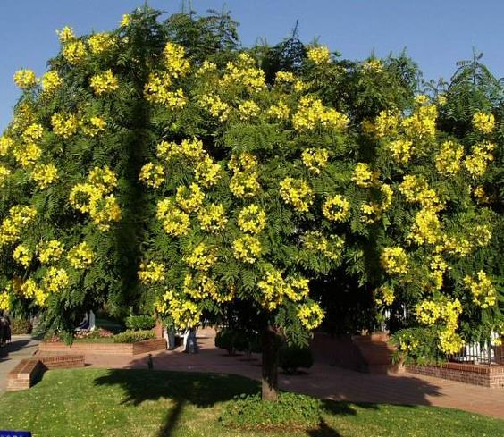 Gold Medallion Tree (Cassia leptophylla) | Trees For The ...