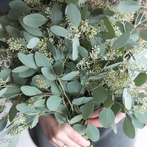 Seeded Eucalyptus Greenerydefault Title Seeded Eucalyptus Flower Care Seeds