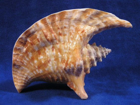 Rooster Tail Conch Sea Shells