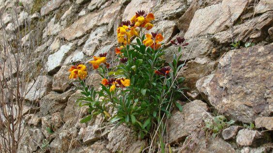 Erysimum cheiri (L.) Crantz  Planta herbácea utilizada en rocallas, muros, taludes y macetas.  Florece a principios de primavera. Flores muy perfumadas.  Se desarrolla en zonas soleadas, suelos pobres bien drenados, y preferentemente alcalinos.